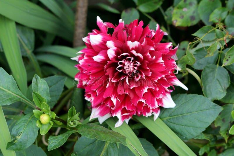 Dahlia bushy herbaceous planta perene com flor grande e florescente vermelha escura e branca com múltiplas camadas de pétalas imagem de stock