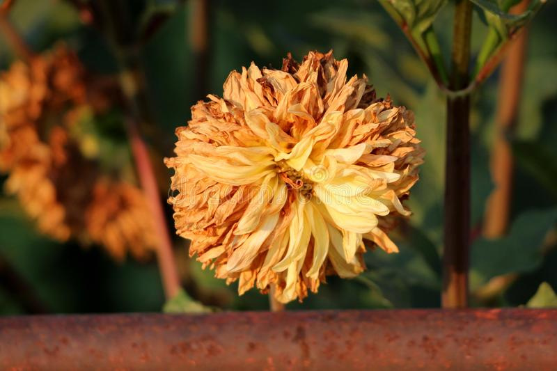 Dahlia bushy tuberous herbaceous perennial plant with large open yellow to orange flower containing layers of withered petals in royalty free stock image