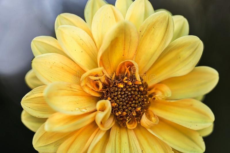 Dahlia Chic in voller Blüte lizenzfreies stockfoto