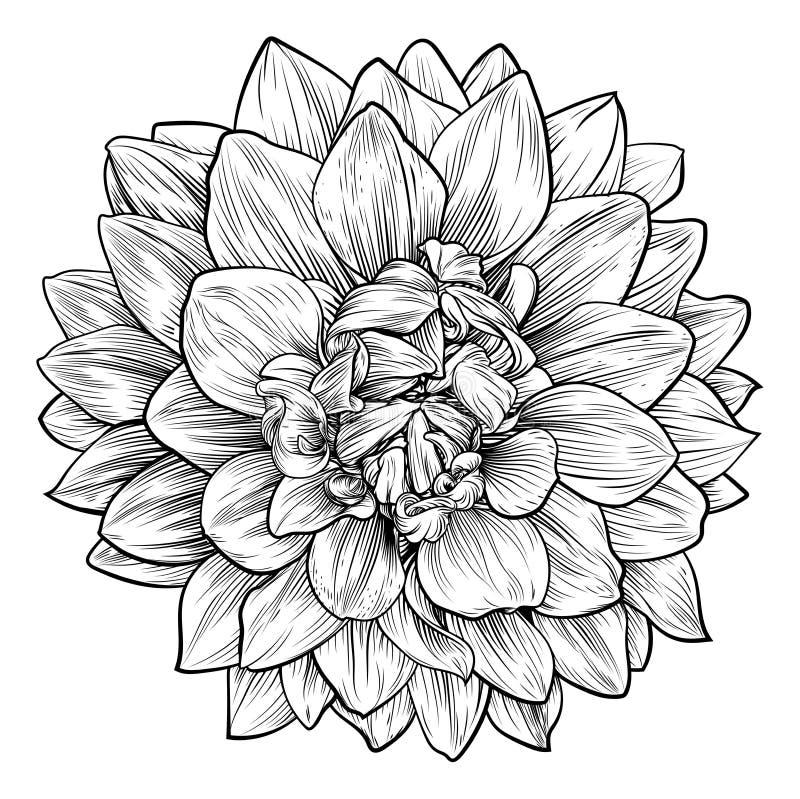 Dahlia or Chrysanthemum Flower Woodcut Etching stock illustration