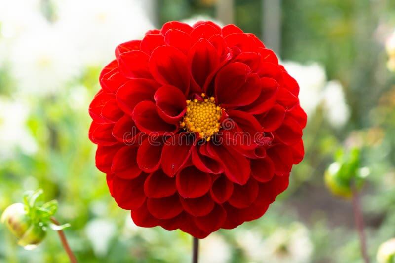 Dahlia Close Up Single Against roja empañó el fondo del jardín foto de archivo