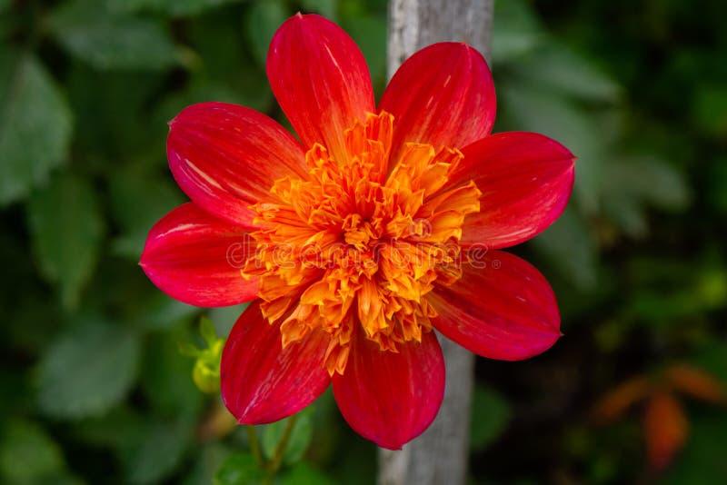 Dahlia Close Up Single rouge photo stock