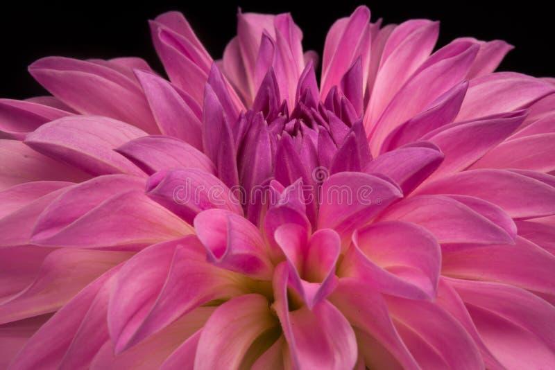 Dahlia Closeup stockfotografie