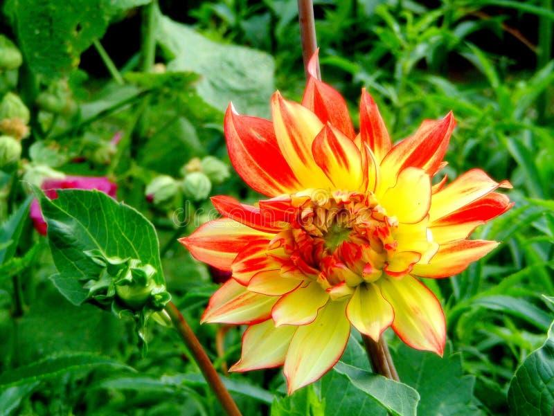Dahlia color? dans le jardin image stock