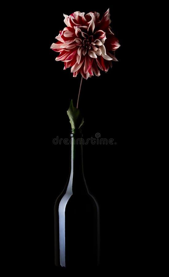 Dahlia con pétalos rojos y blancos en un frasco sobre fondo negro fotos de archivo