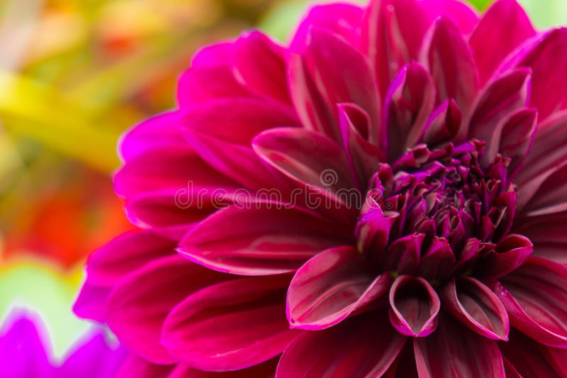 Dahlia dans le rose fuchsia vif photo stock