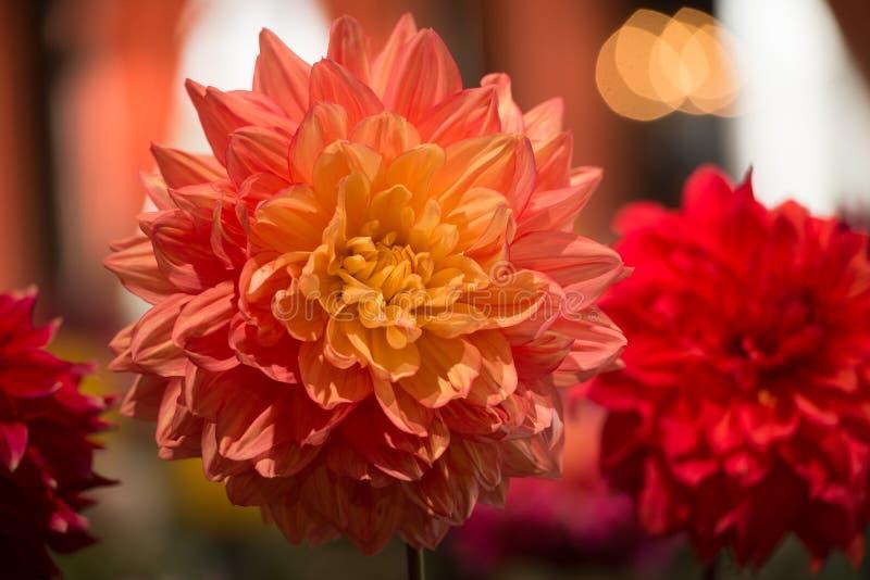 Dahlia de couleur orange vibrant photo libre de droits