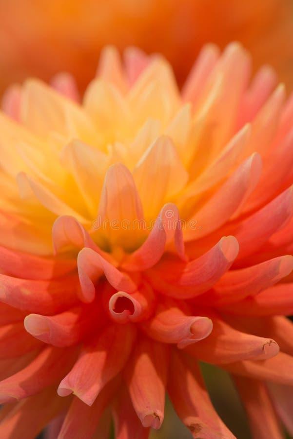 Dahlia de couleur orange vibrant images libres de droits