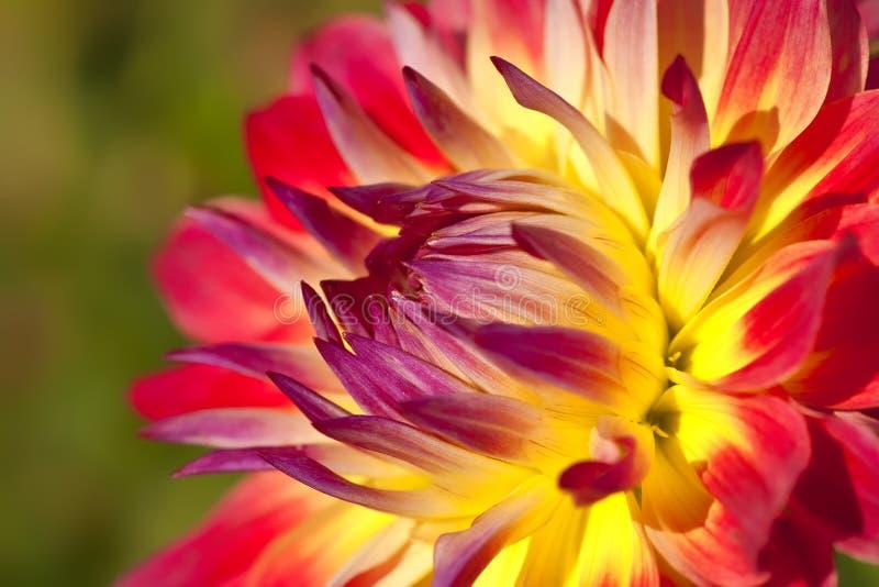 Dahlia de jardin photographie stock libre de droits