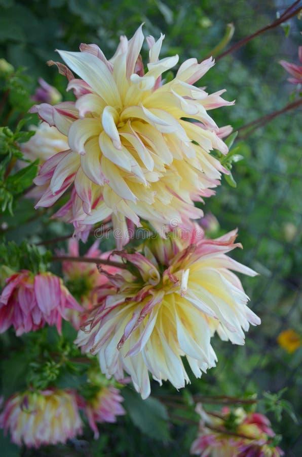 Dahlia de jardin en été images libres de droits
