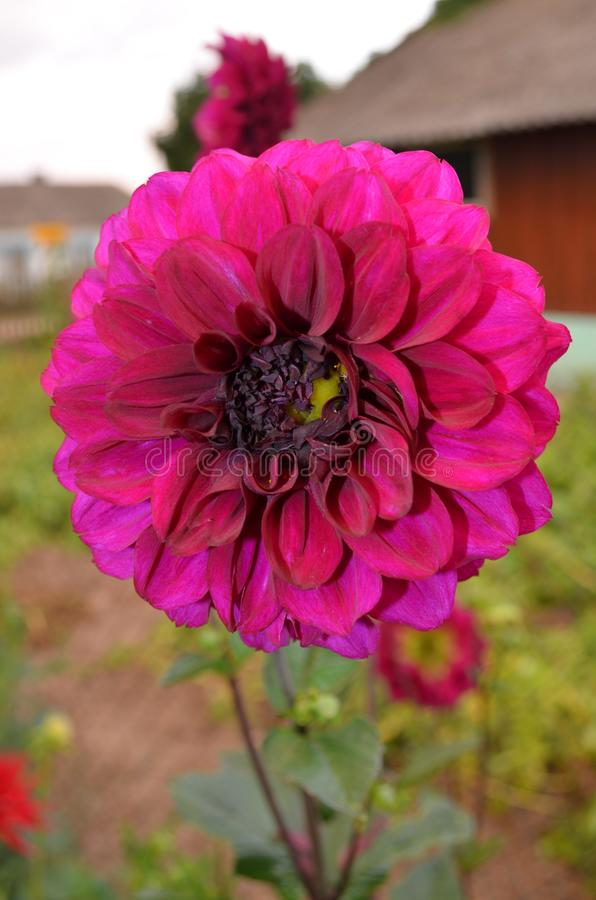 Dahlia de jardin en été image stock