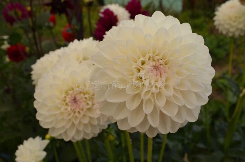 Dahlia de jardin en été photographie stock libre de droits