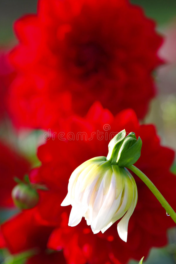 Dahlia in de tuin royalty-vrije stock afbeelding