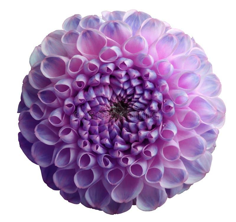 Dahlia de violette d'arc-en-ciel de fleur Rosée sur des pétales Fond d'isolement par blanc avec le chemin de coupure closeup Aucu images stock