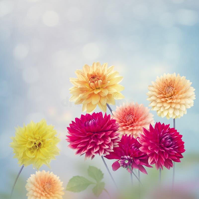 Dahlia florece en el jardín fotografía de archivo libre de regalías