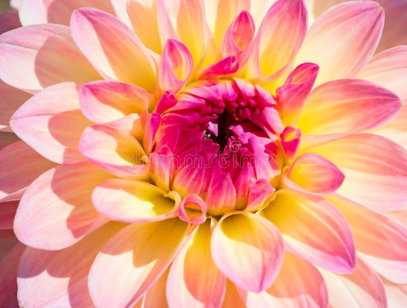 Dahlia Flower royalty-vrije stock fotografie