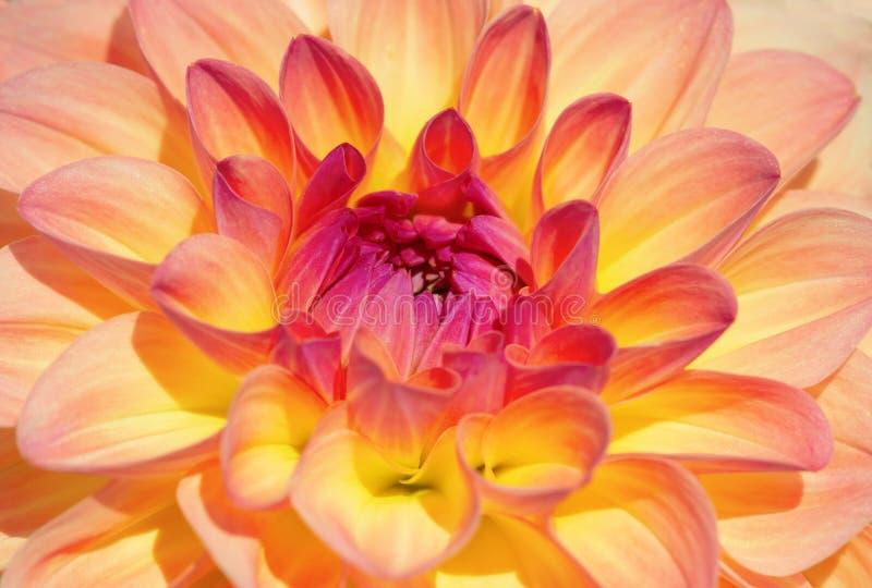 Dahlia Flower royalty-vrije stock afbeeldingen