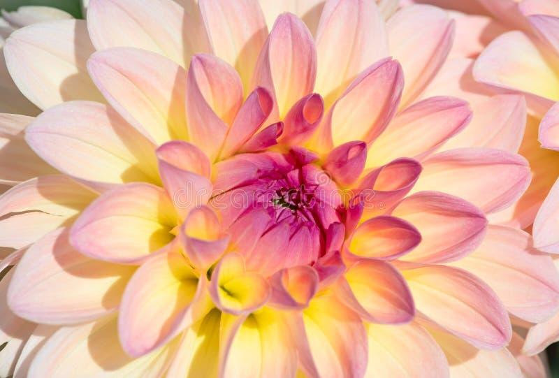 Dahlia Flower foto de stock royalty free