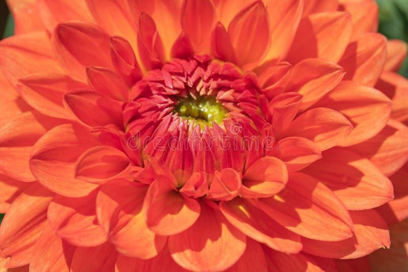 Dahlia Flower fotografia de stock