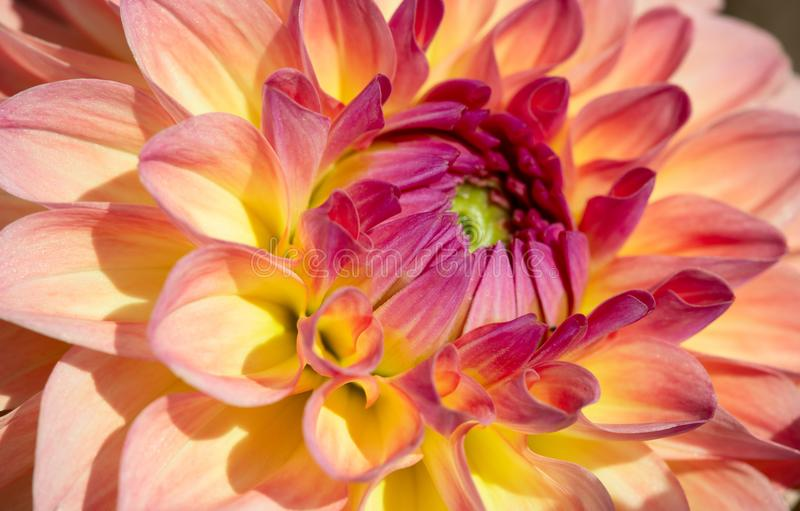 Dahlia Flower imagens de stock royalty free