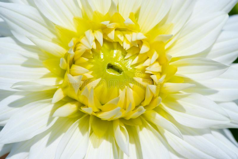 Dahlia Flower imagens de stock