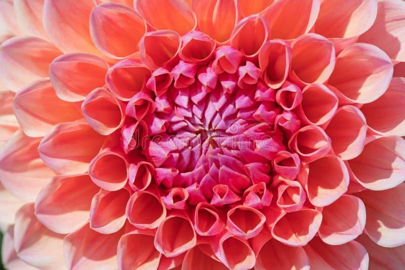 Dahlia Flower foto de stock
