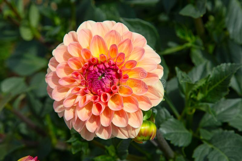 Dahlia Flower royalty-vrije stock foto