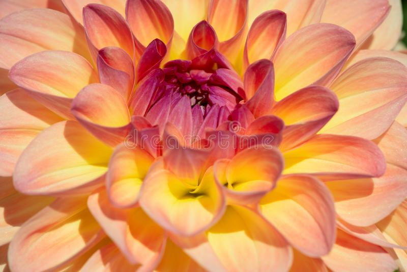 Dahlia Flower stock afbeelding