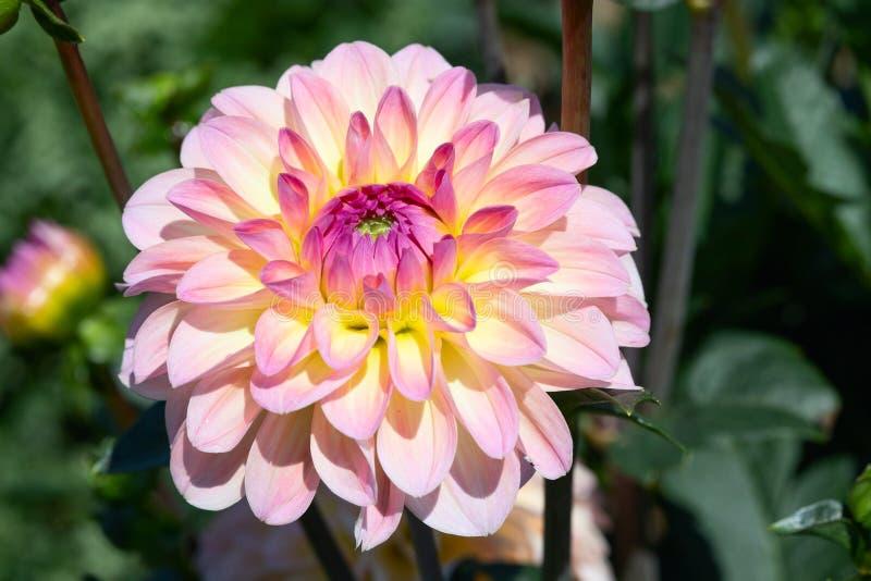 Dahlia Flower royalty-vrije stock foto's