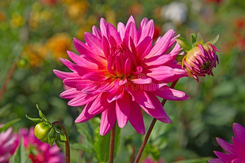 Dahlia flower stock photo