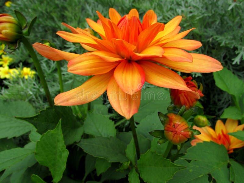 Dahlia Flower stock foto