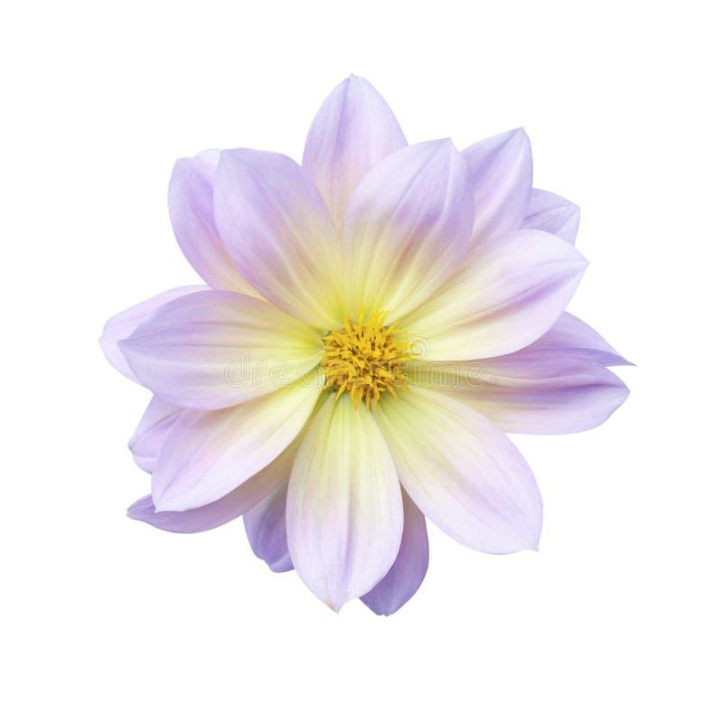 Dahlia Flower arkivfoto