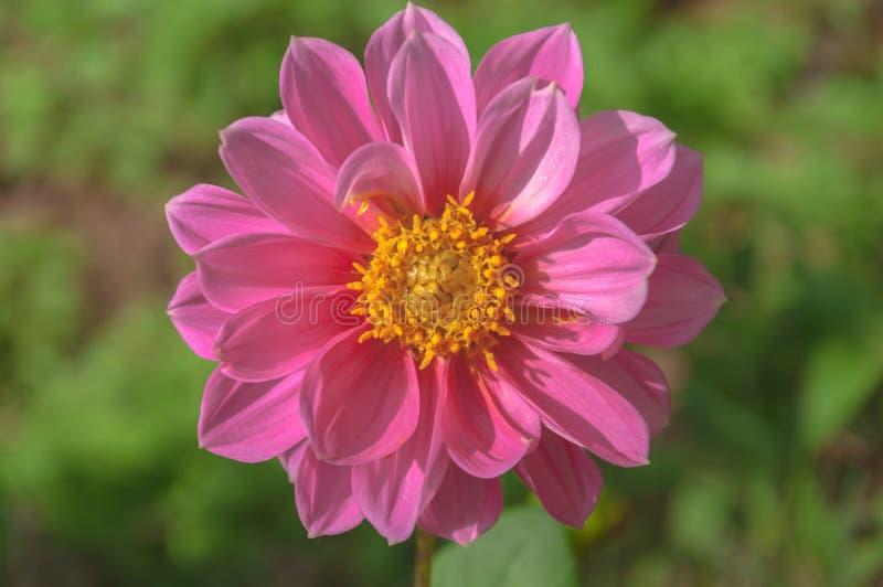 Dahlia Flower image stock