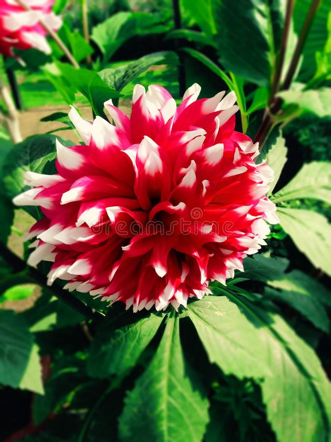 Dahlia Flower images stock