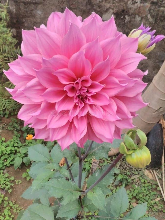 Dahlia Flower lizenzfreie stockbilder