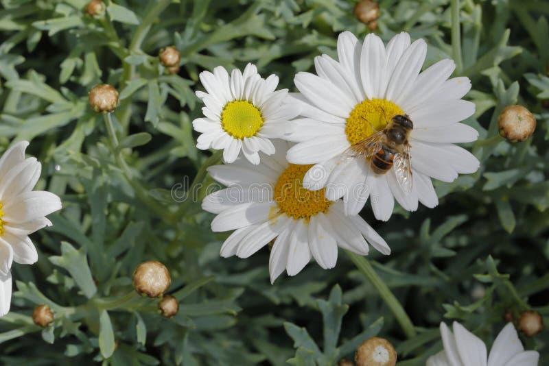 Dahlia flower. A bee sucks the nectar of a white dahlia royalty free stock images