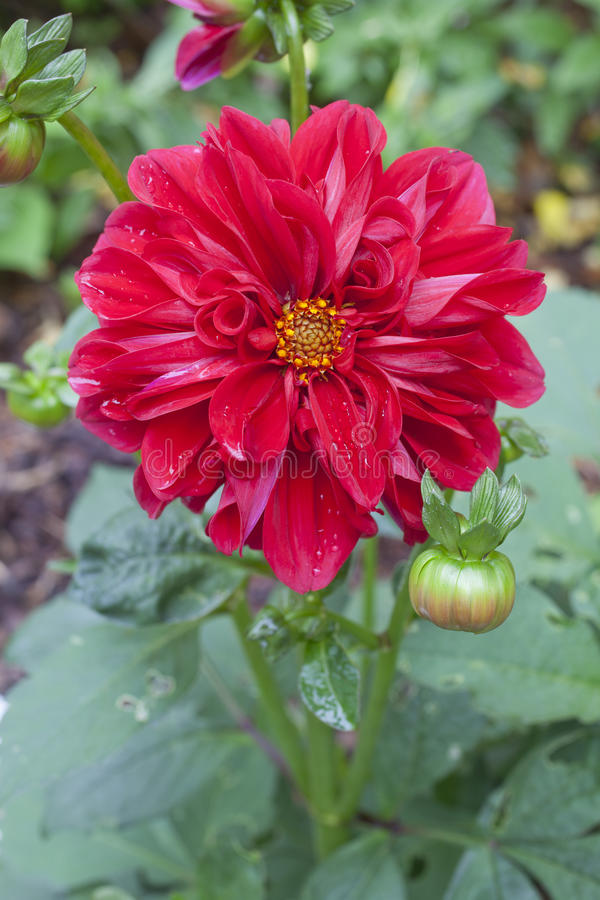 Download Dahlia stock image. Image of fragile, colorful, garden - 31475835