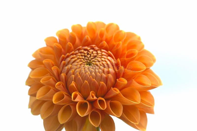Dahlia flower closeup royalty free stock photos