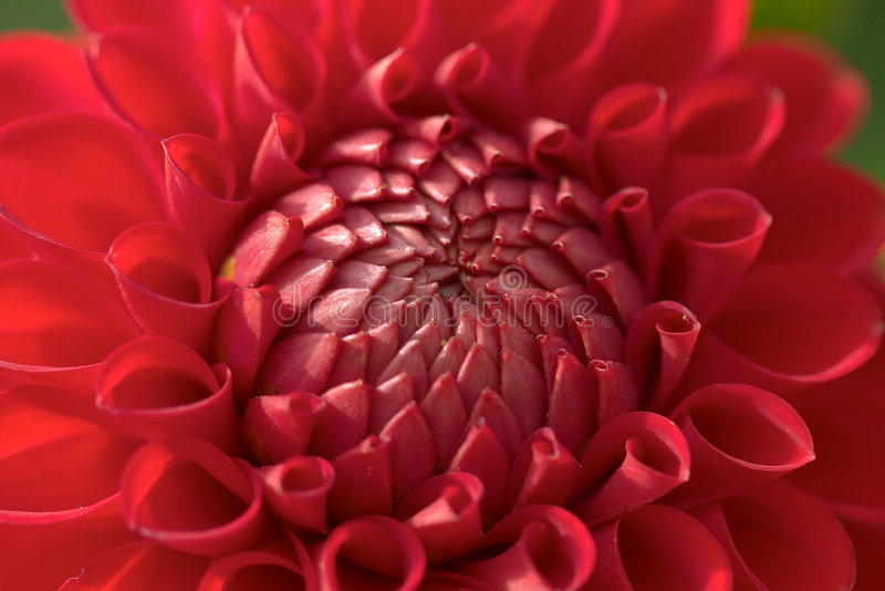 Dahlia flower closeup royalty free stock photography