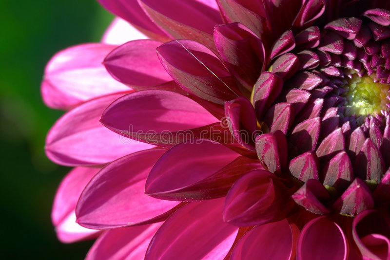 Dahlia flower closeup stock image