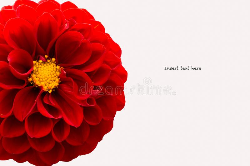Dahlia Flower Closeup on White Background stock images