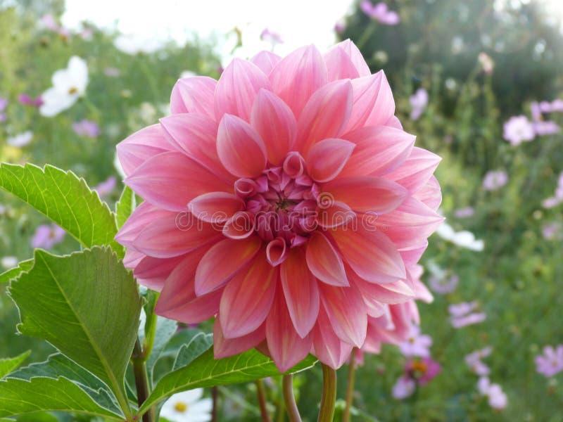 Dahlia Flower colorida imagem de stock