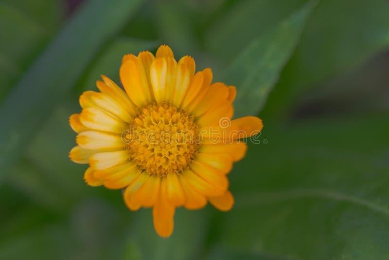 Dahlia Flower con los pétalos del amarillo anaranjado imagen de archivo libre de regalías