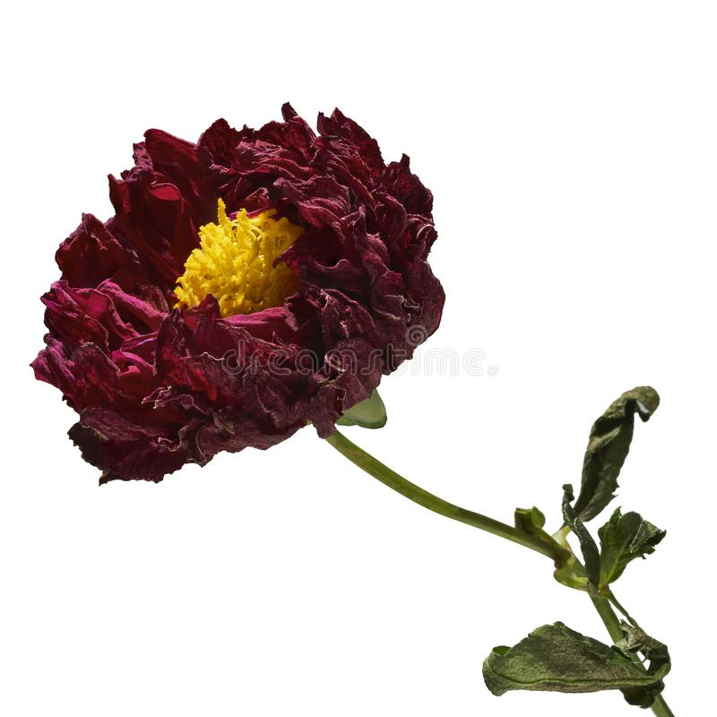 Dahlia flower dried, Red dahlia flower with yellow pollen and leaves isolated on white background, with clipping path royalty free stock photo