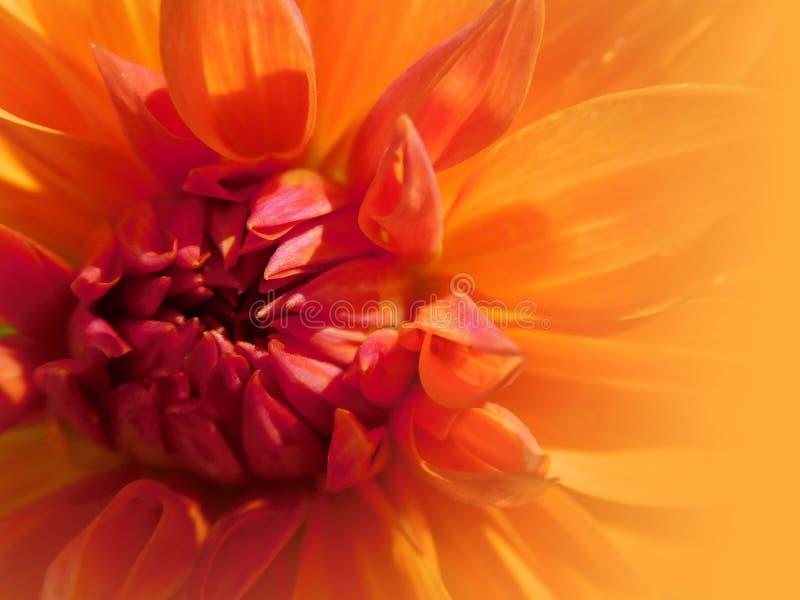 yellow orange dahlia flower close-up royalty free stock photography
