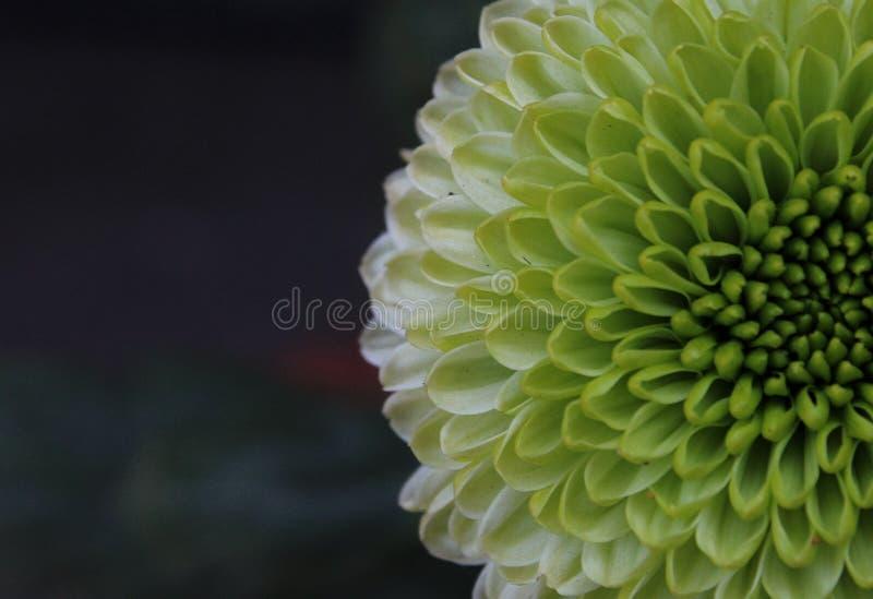 Dahlia Flower lizenzfreies stockbild