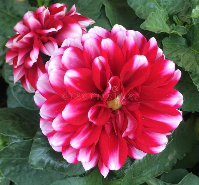 Dahlia Flower imagen de archivo libre de regalías