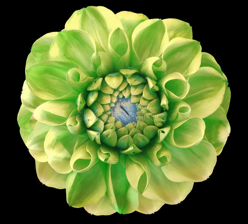 Dahlia flower, green, blue center, black background isolated with clipping path. Closeup royalty free stock photography