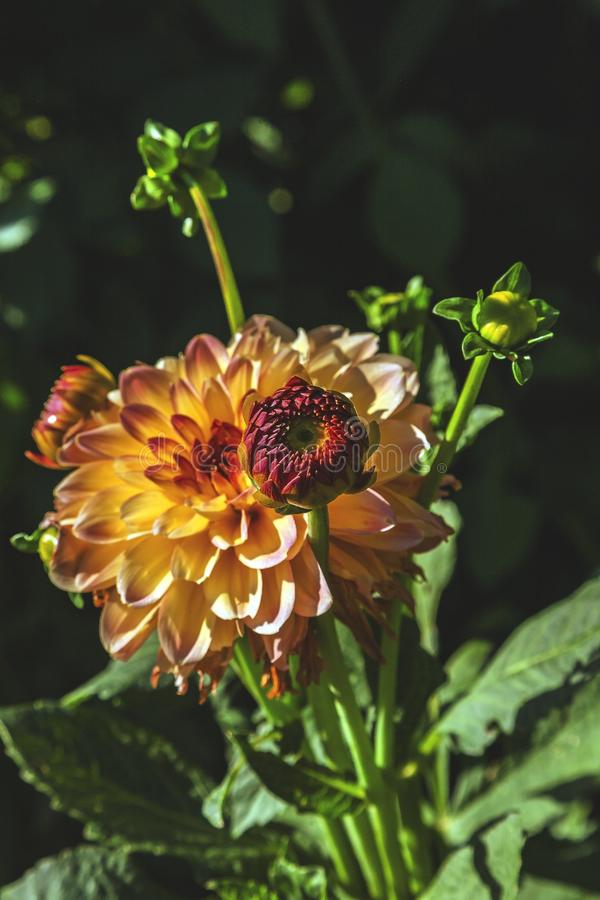 Dahlia flower grown in wild field.  stock photos