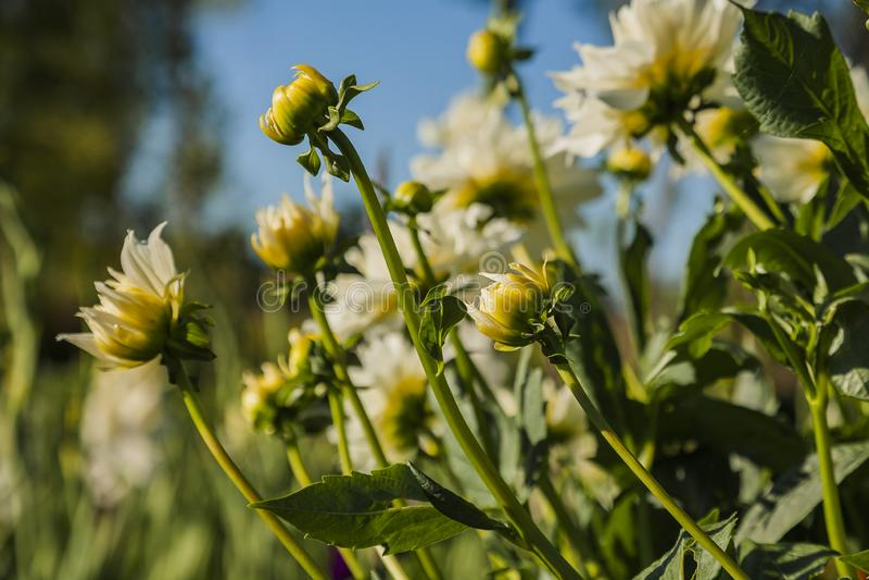 Dahlia flower grown in wild field royalty free stock image